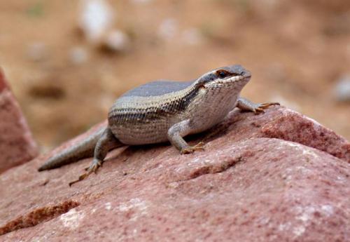pregnant reptile